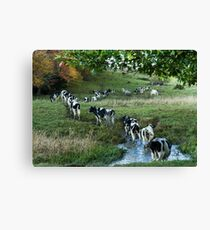 Dairy Cows of Vermont Canvas Print