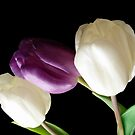 White And Purple Tulips by hurmerinta