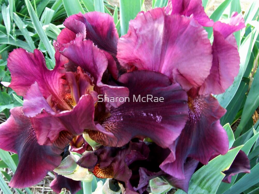 Iris 4 by SharonD