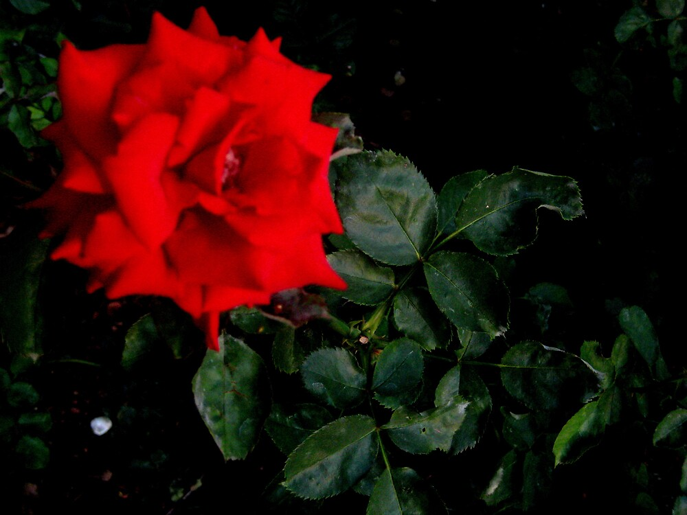 Red Rose by SamanthaJune
