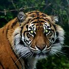 Tiger The Start of the Journey by Robert Goulet