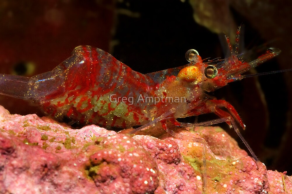 Shrimp with Eggs by Greg Amptman