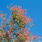 Ceratopetalum gummiferum (New South Wales Christmas Bush) by Robert Elliott