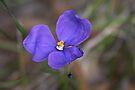 Patersonia sericea (Native Iris) by Robert Elliott