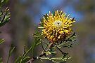 A bushland beauty ~ Isopogon anemonifolius (Drumstick) by Robert Elliott