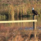 Bald Eagle by LChrisTaylor