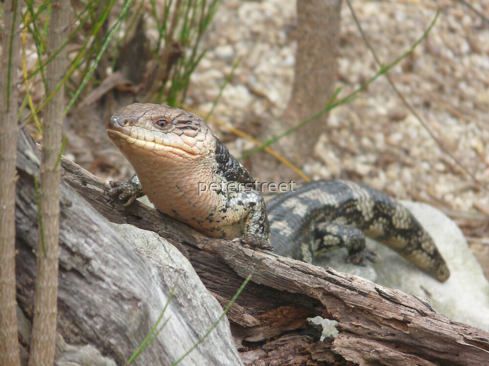 Southern Blue-tongue; Blotched Blue-tongue, Tiliqua nigrolutea - On a log. by peterstreet