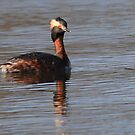 Horned grebe by LChrisTaylor