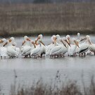 Pelicans by LChrisTaylor