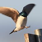 Tree Swallow Landing by LChrisTaylor