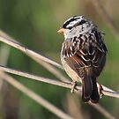 White Crowned Sparrow by LChrisTaylor