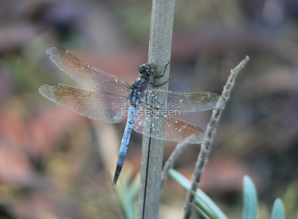 Blue Skimmer by louisegreen