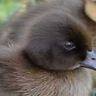 Fluffy Duckling close-up by lizdomett