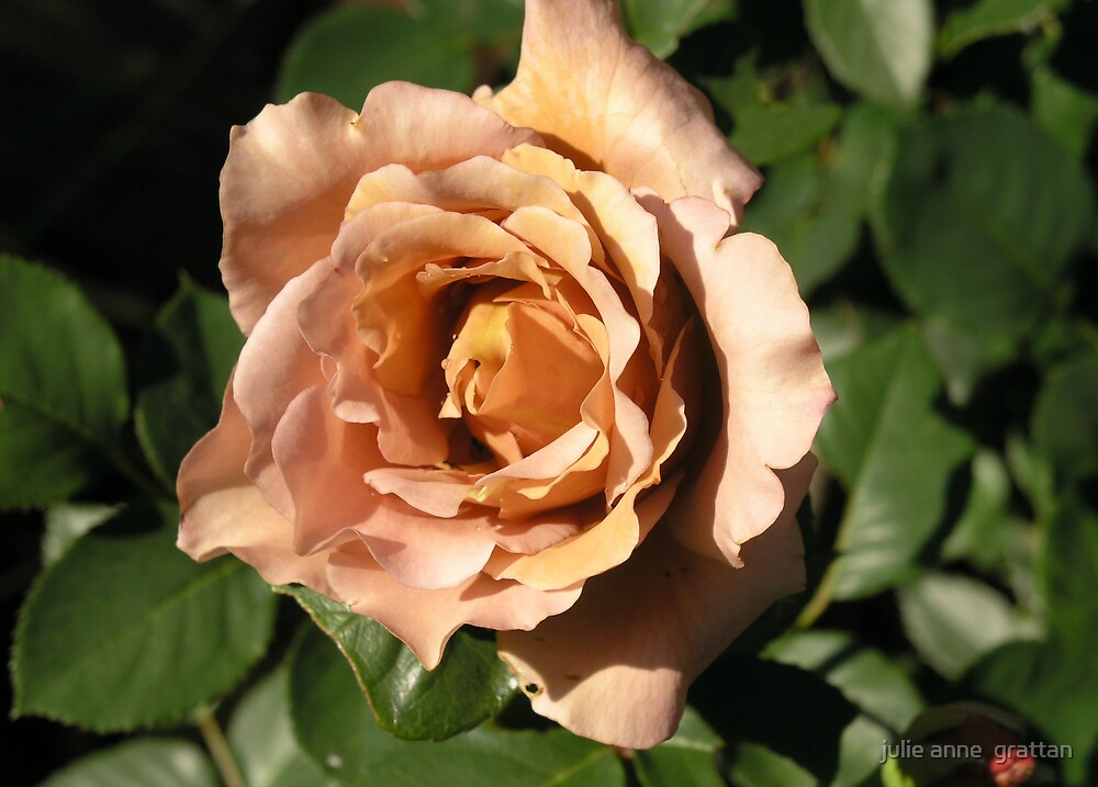 Julia's rose by julie anne  grattan