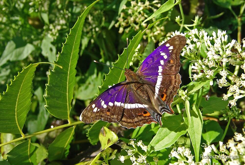 Hispaniolan Purple Emperor Butterfly by Robert Abraham