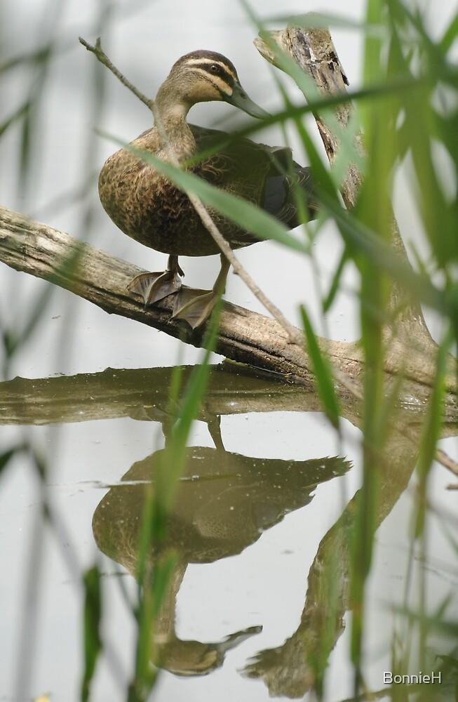 Sydney duck reflection by BonnieH