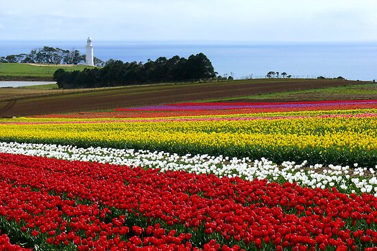 Table Cape Tulips by Keith G. Hawley