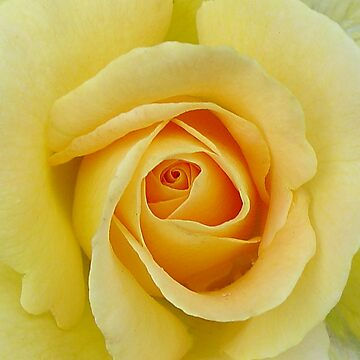 Yellow Rose by JohnZawacki