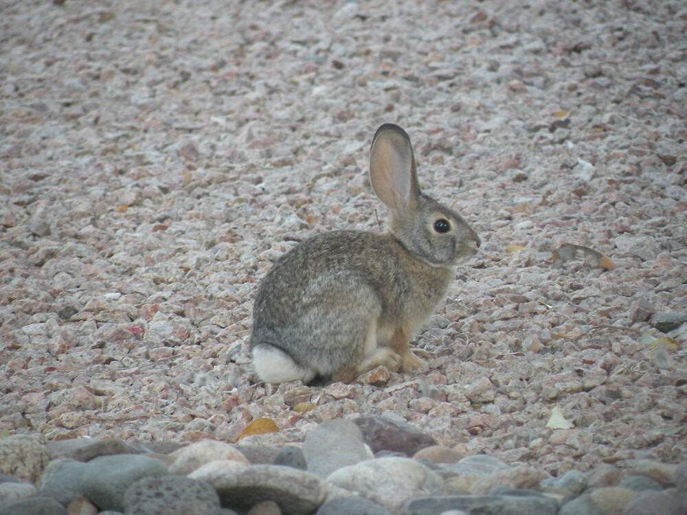 Rabbit in the morn by Bonnie Pelton