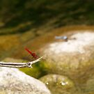 Red Dragonfly by Jonathan Dower