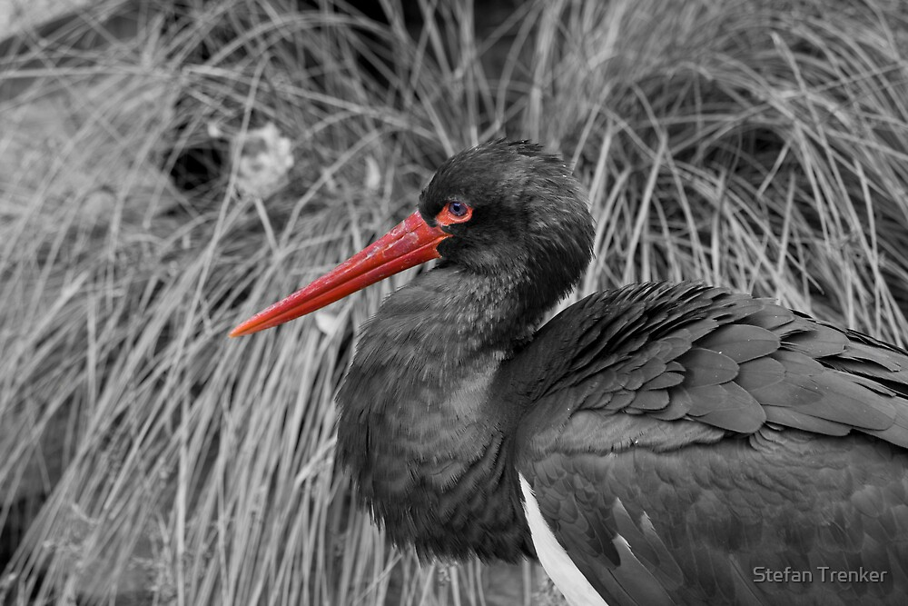 black stork with some red by Stefan Trenker