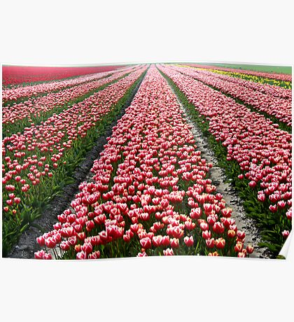 Tulip Field In Spring Poster