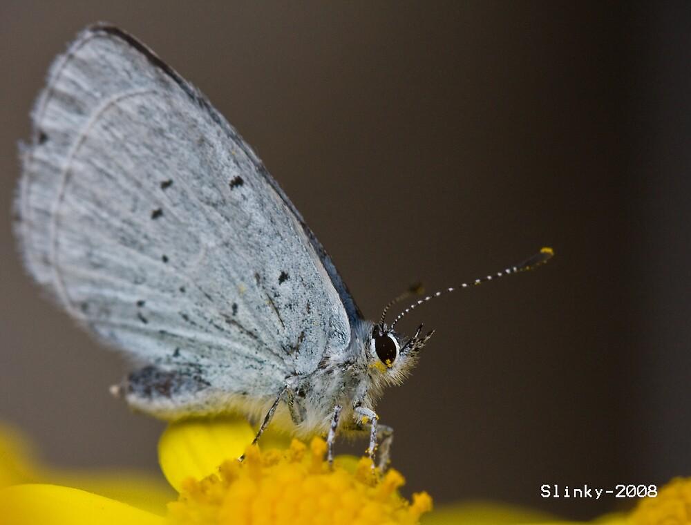 Holly blue by Slinky2012