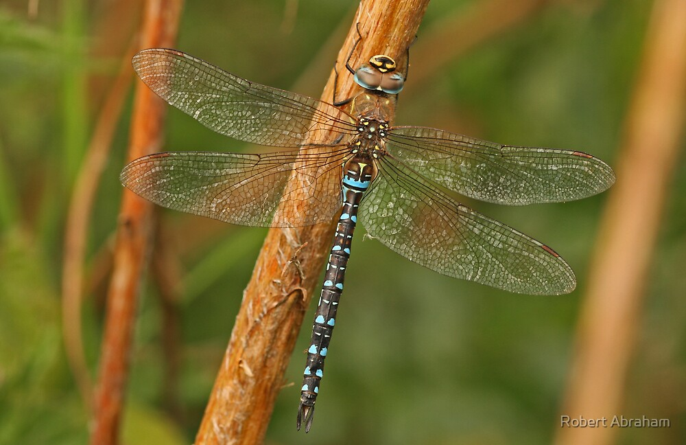 Migrant Hawker Dragonfly by Robert Abraham