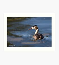 Great crested grebe Art Print