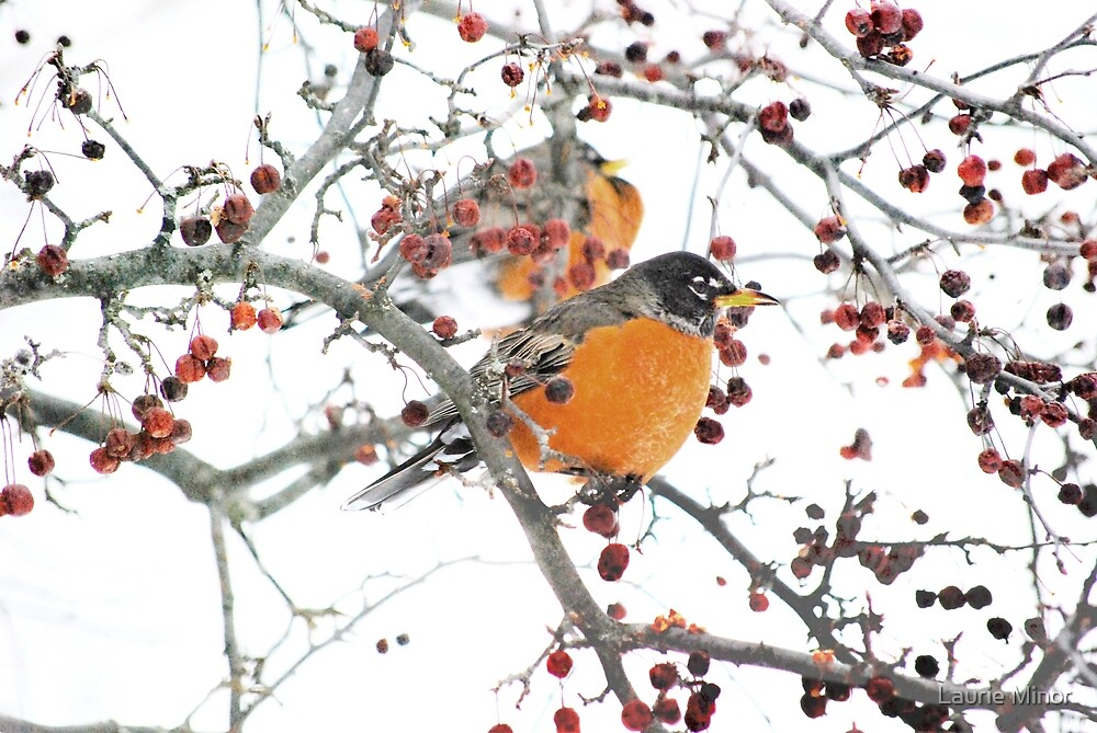 Robins in winter #2 by Laurie Minor