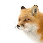 Red fox in Algonquin Park, Canada by Jim Cumming