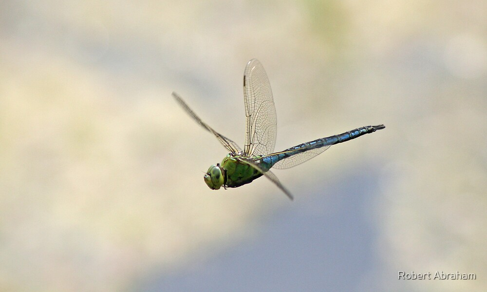 Emperor Dragonfly by Robert Abraham