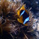 Red Sea Anemonefish Photo by hurmerinta