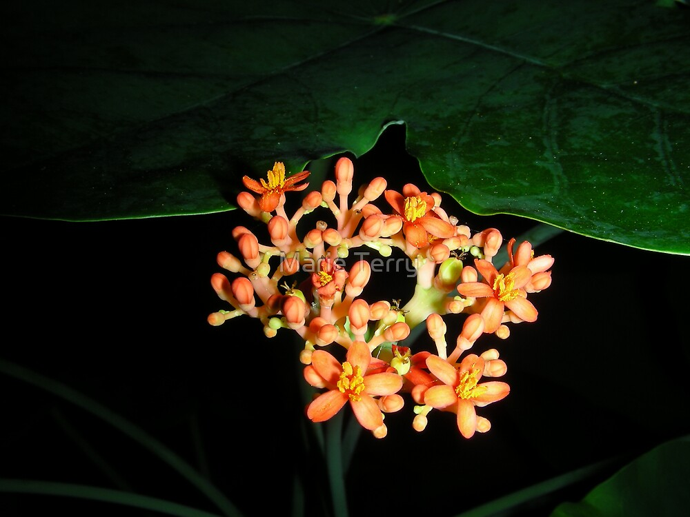 Jatropha Podagrica or Buddha Belly by Marie Terry
