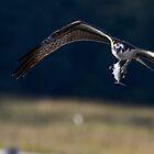 Osprey Worried I'll take fish by TJ Baccari Photography