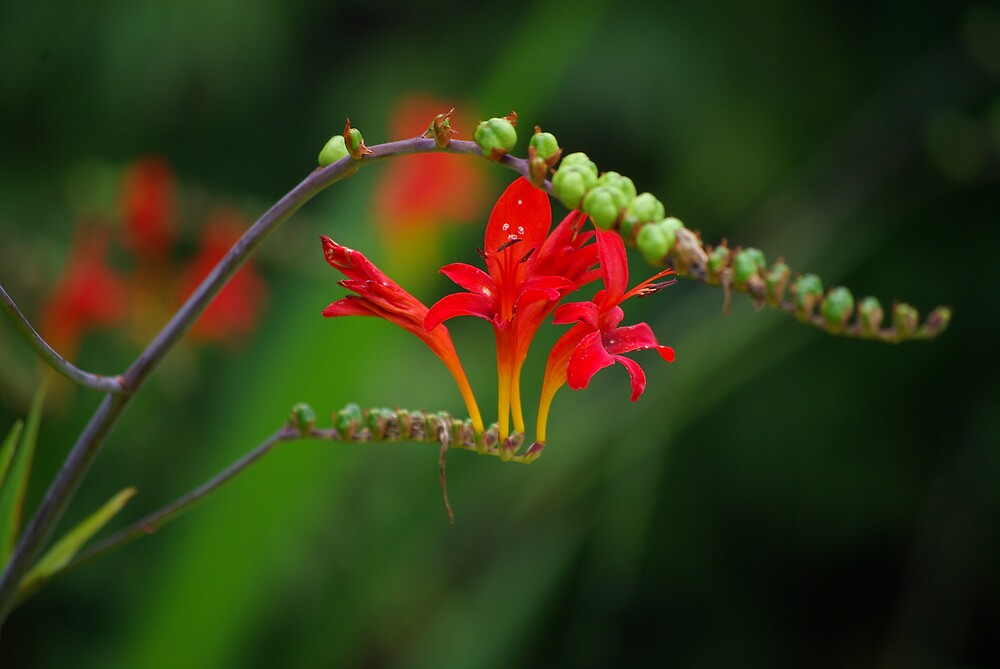 Red Flowers by Degri