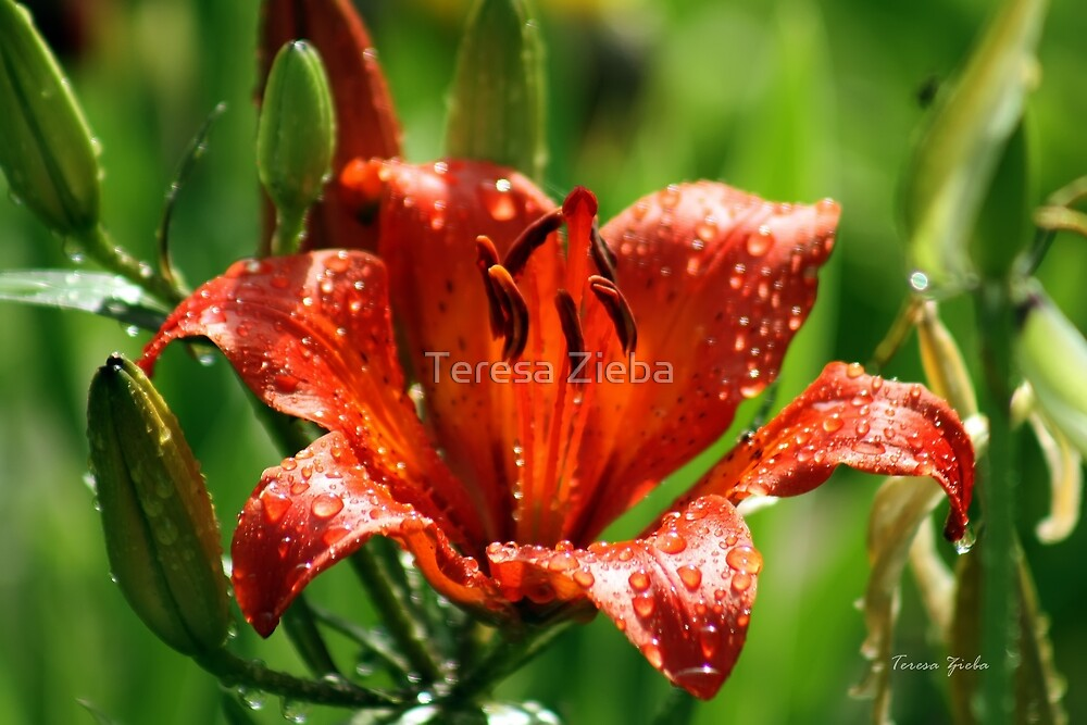 Red Lily by Teresa Zieba