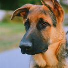 Portrait of a German Shepard Puppy by Nancy Stafford