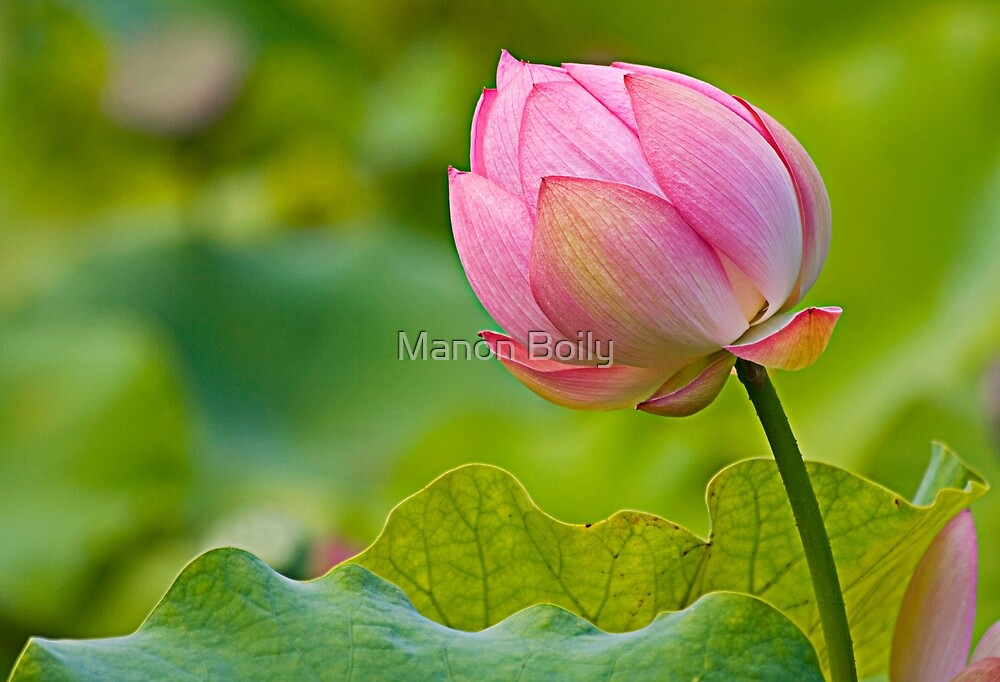 colorful lotus by Manon Boily
