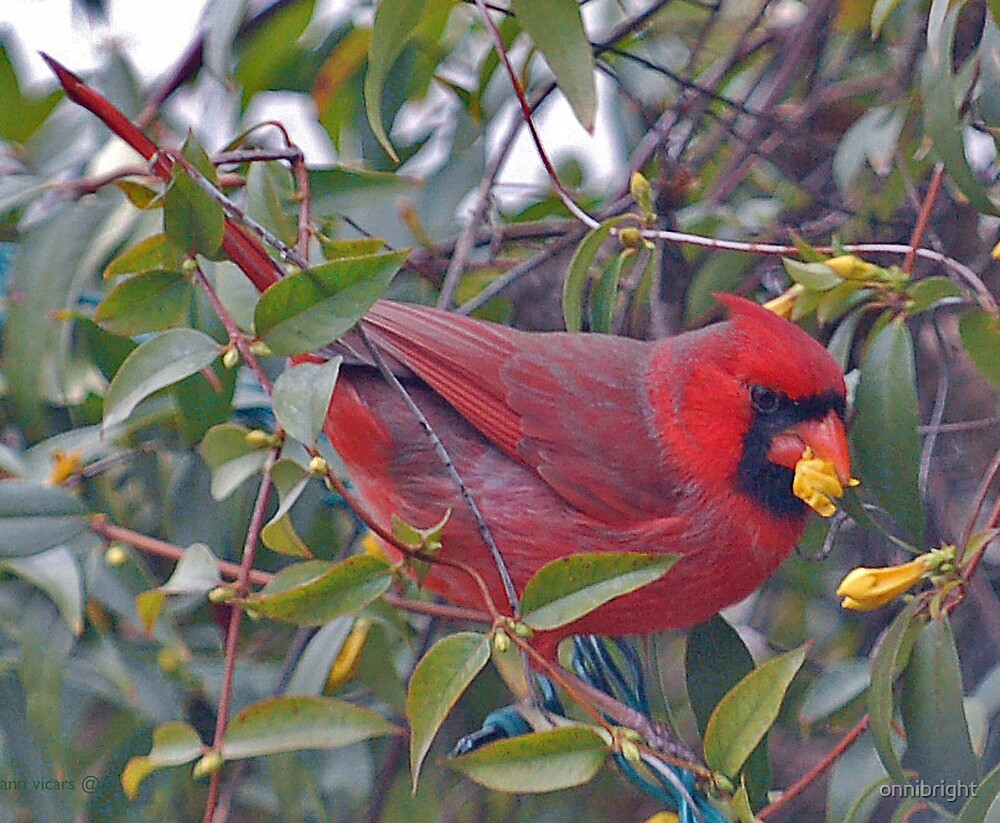 Cardinal by onnibright