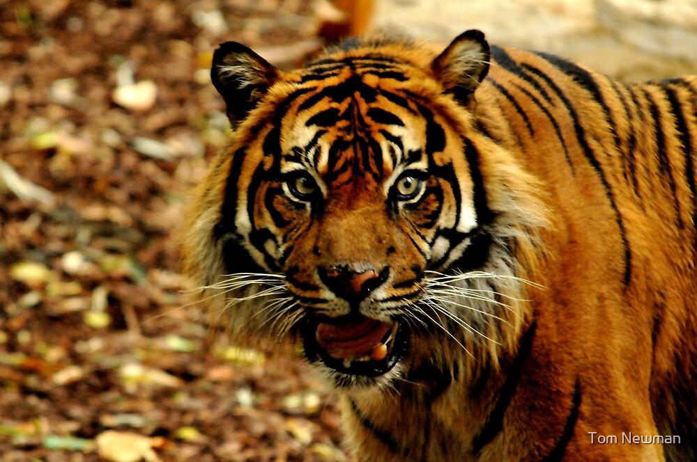 Sumatran Tiger IV by Tom Newman