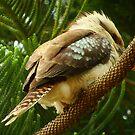Kookaburra  by Of Land & Ocean - Samantha Goode