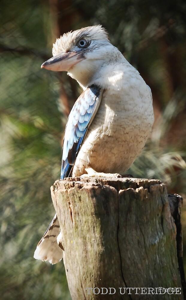 Blue Winged Kookaburra by Frantic