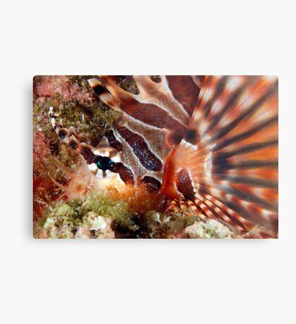 Zebra Lionfish Metal Print