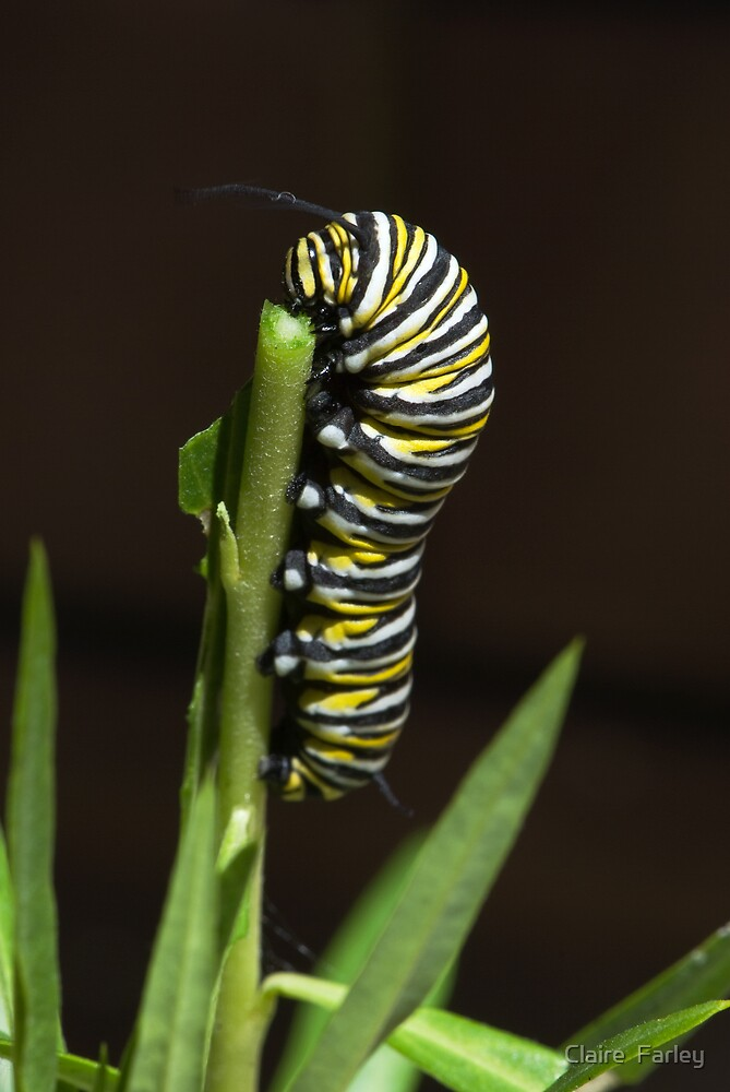 Butterfly Caterpillar by Claire  Farley