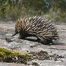 Echidna, Tachyglossus aculeatus by peterstreet