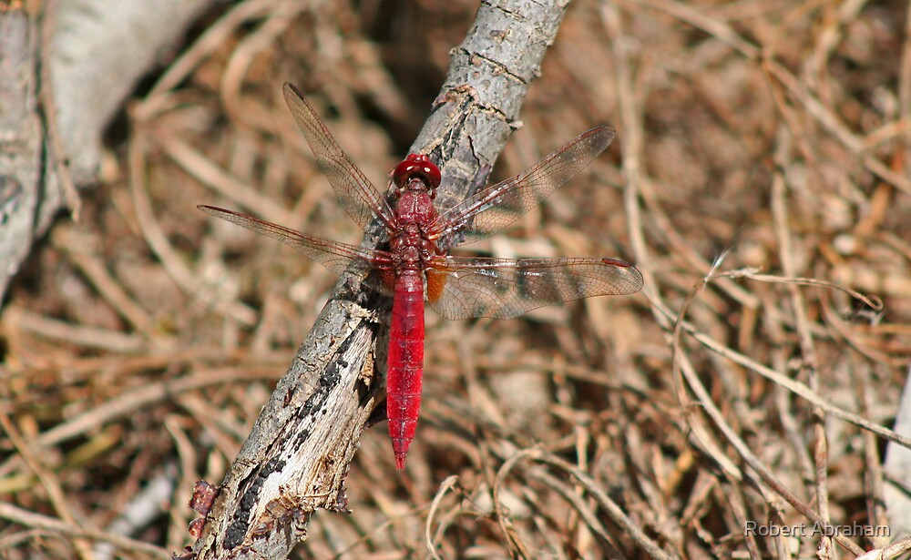 Scarlet Darter Dragonfly by Robert Abraham