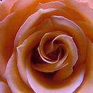Pink flower by Ann Heffron