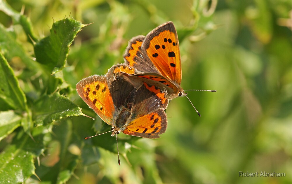Small Copper Butterfly by Robert Abraham