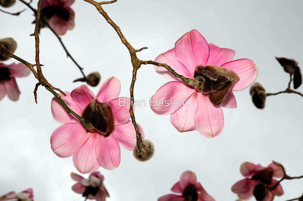 Magnolia 1 by Brian Haslam